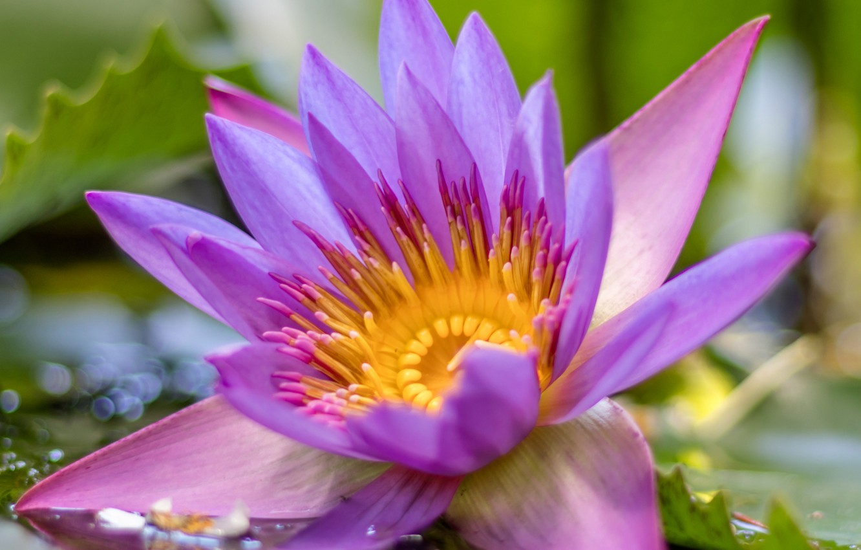 Фото обои макро, лепестки, лотос, водяная лилия