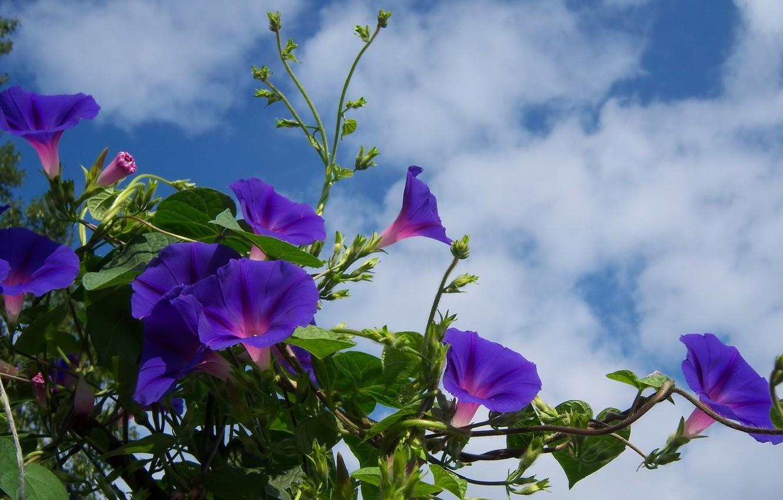 картинки с цветами вьюн