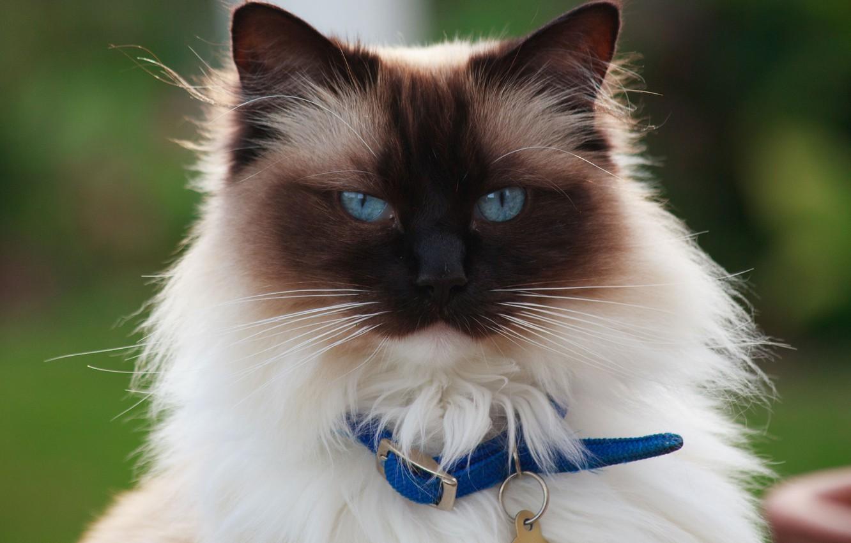 Фото обои кошка, кот, взгляд, портрет, Бирманская кошка