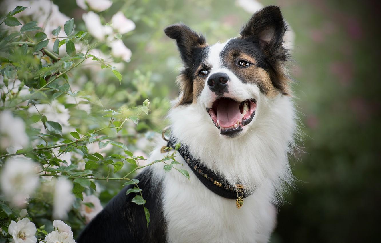 Фото обои морда, портрет, розы, собака, пасть, ошейник, боке