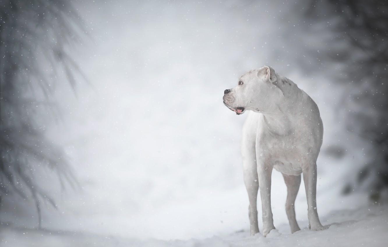 Фото обои зима, белый, собака, боке, боксёр