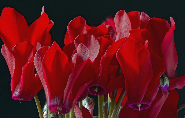 Фото обои макро, красный, цикламен