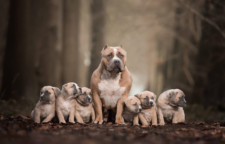 Фото обои собаки, щенки, семейный портрет, Питбультерьер