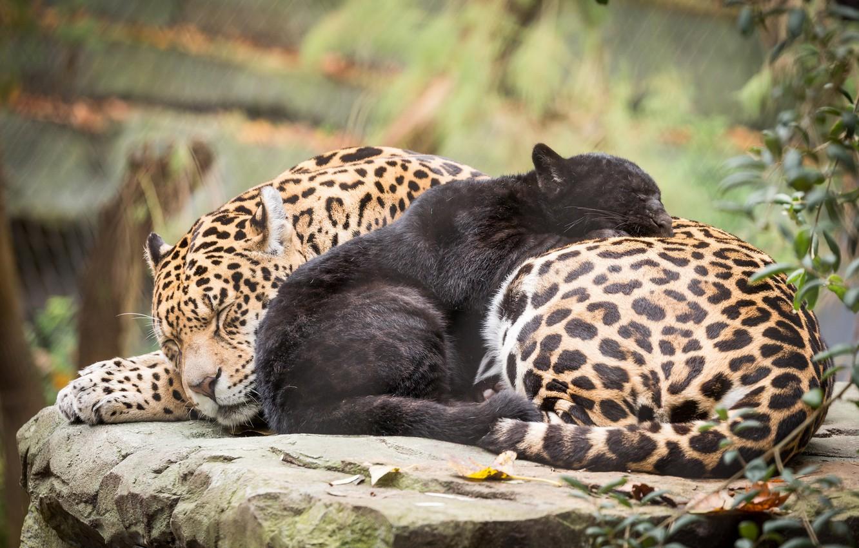 Картинки леопарды и пантер