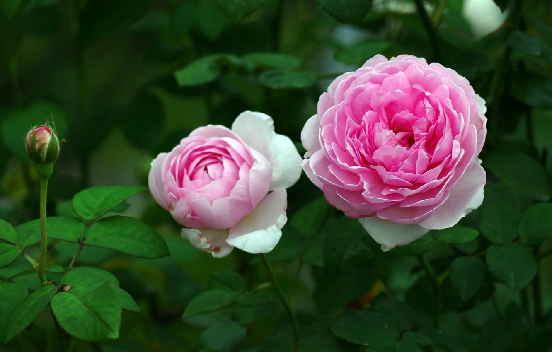 Фото обои макро, розы, сад, розовые, бутоны