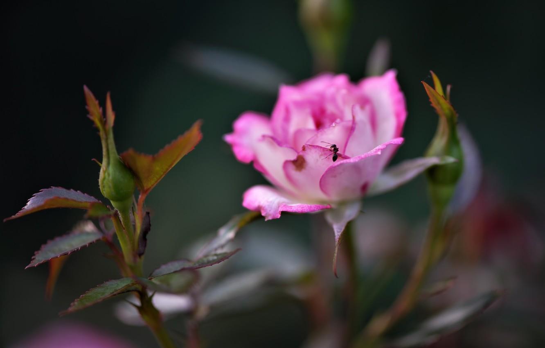 Фото обои макро, роза, лепестки, муравей, бутоны