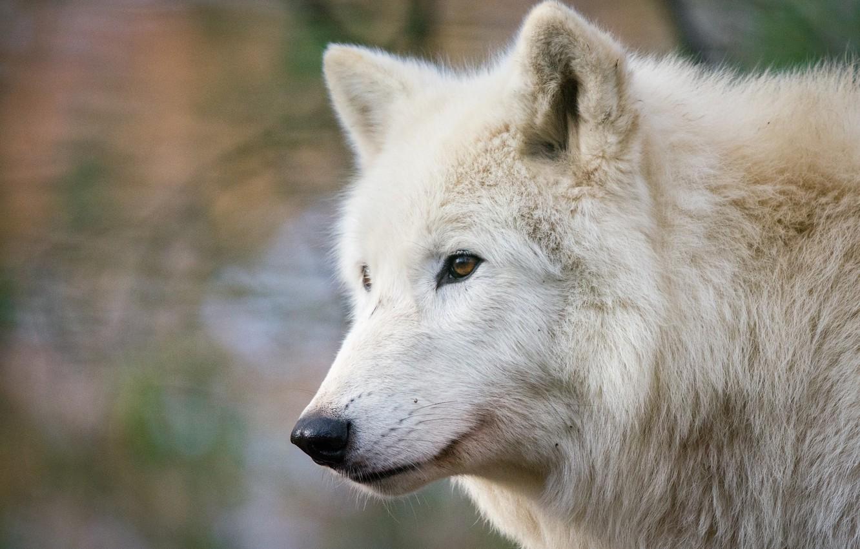 красивые фото белых волков был ближе вечеру