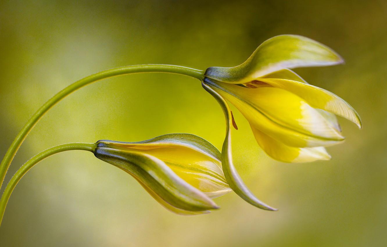 Фото обои цветы, желтые, тюльпаны, дикие