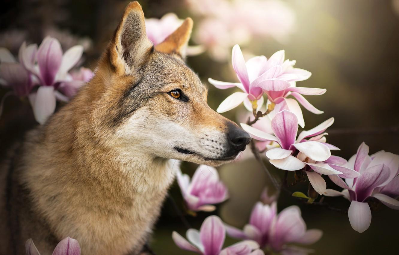 волк нюхает цветы фото можете красиво
