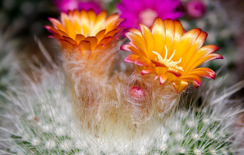 Фото обои иголки, лепестки, кактус, колючки, пух, тычинки, оттенки, бутончик, оранжевые цветы, картинка макро