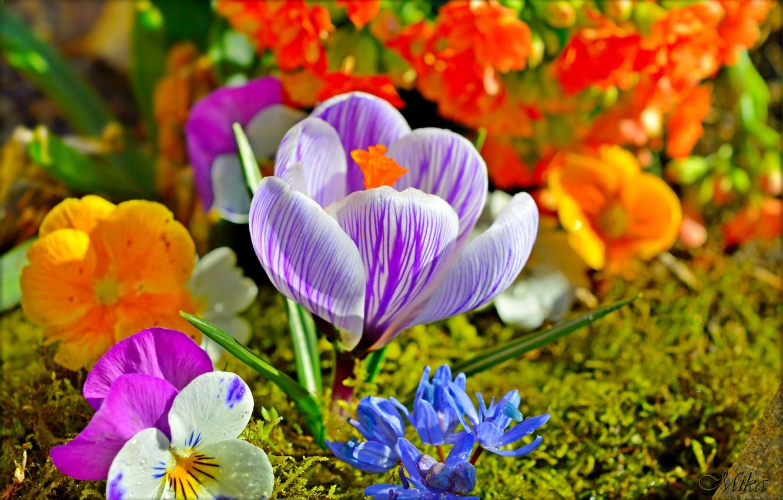 Фото обои Цветы, Flowers, Крокус, Crocus