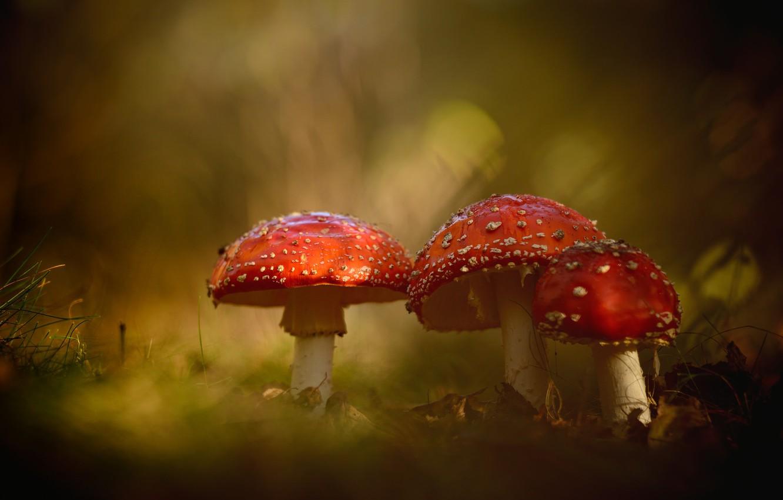 Фото обои природа, грибы, мухоморы