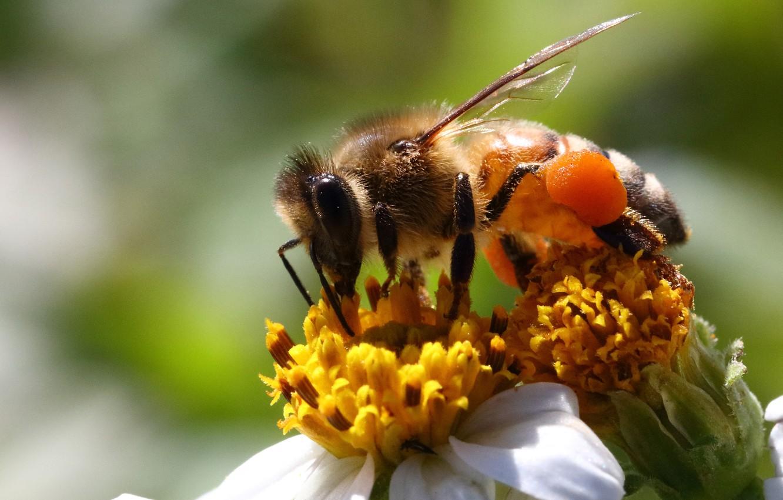 Фото обои цветок, макро, пчела