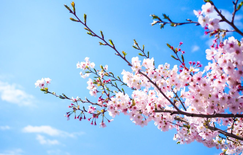 Фото обои небо, ветки, весна, сакура, цветение, pink, blossom, sakura, cherry, spring, bloom