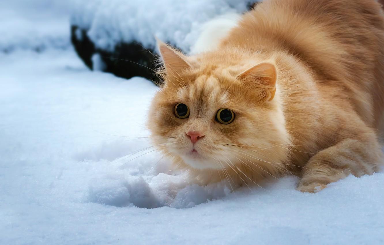 помощью них картинки коты в снегу на рабочий стол так важливо