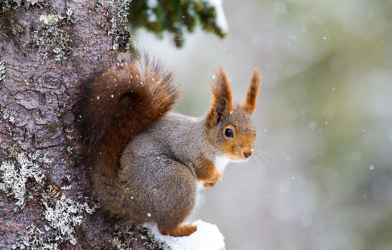 Фото обои снег, дерево, белка, грызун
