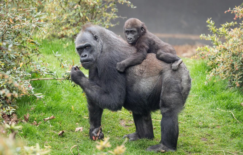 Фото обои природа, фон, обезьяны