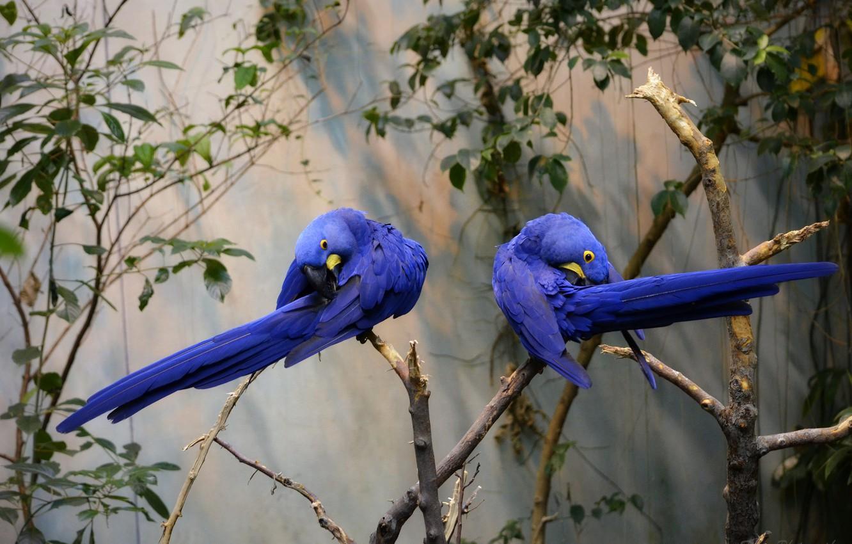 Фото обои ветка, пара, попугаи, синие, Гиацинтовый ара, деревo