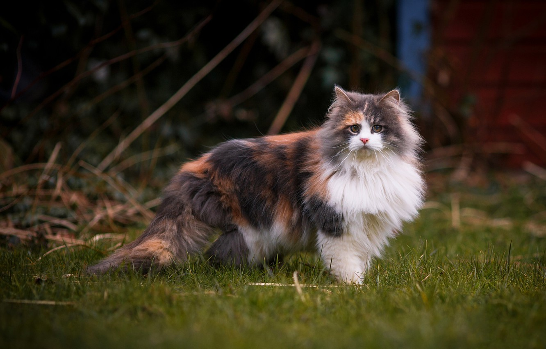 котики трехцветные пушистые фото животных