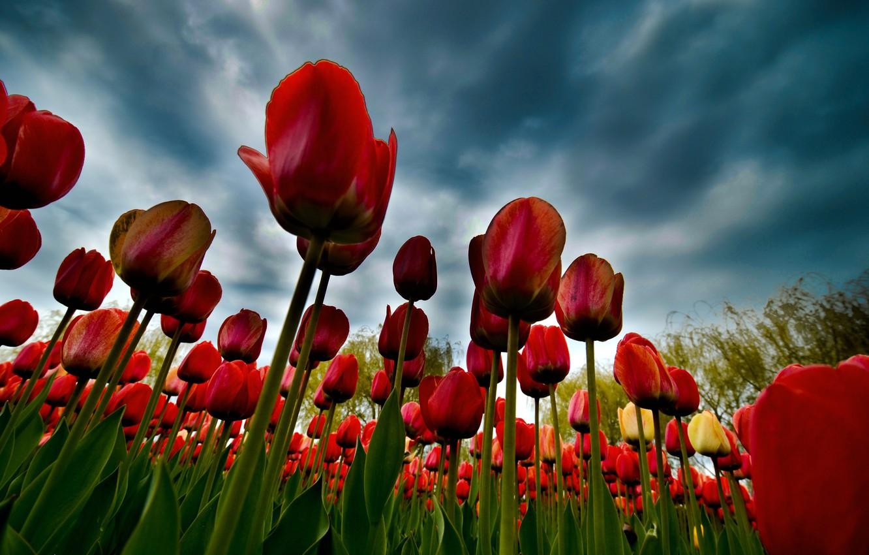 Фото обои облака, тюльпаны, плантация