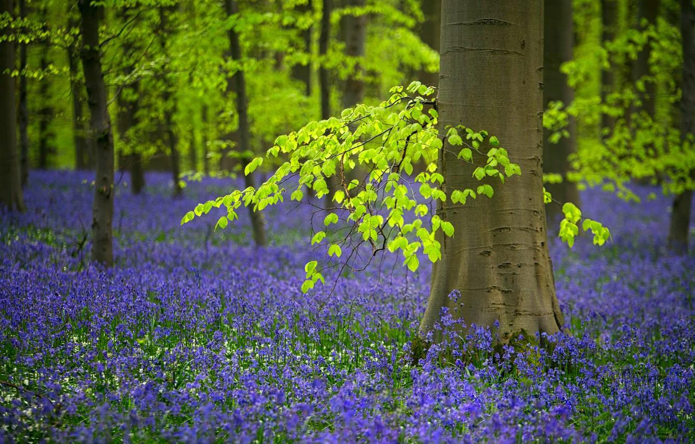 Фото обои лес, деревья, цветы, весна, Бельгия, колокольчики, колокольчик, редколесье