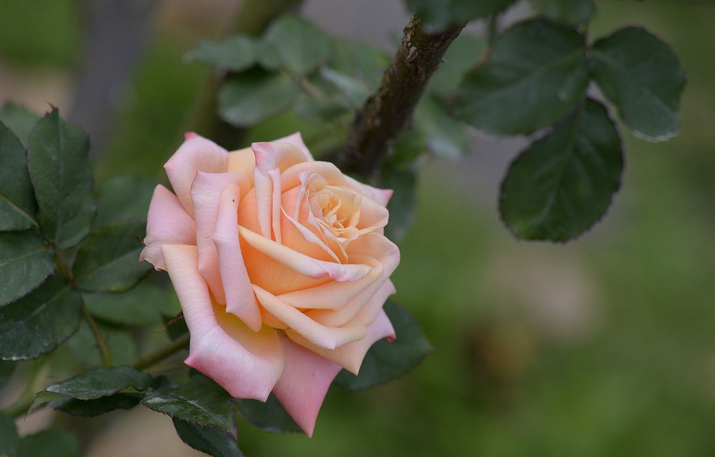 Фото обои цветы, роза, лепестки, бутон