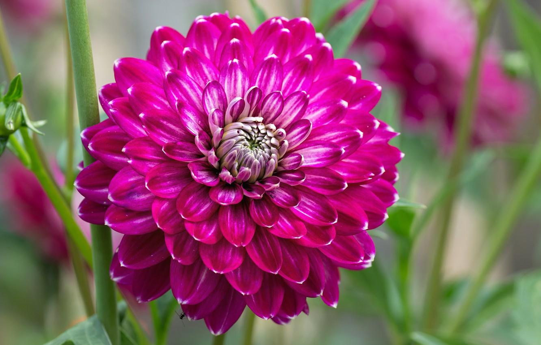 Фото обои цветок, лепестки, сад, георгина