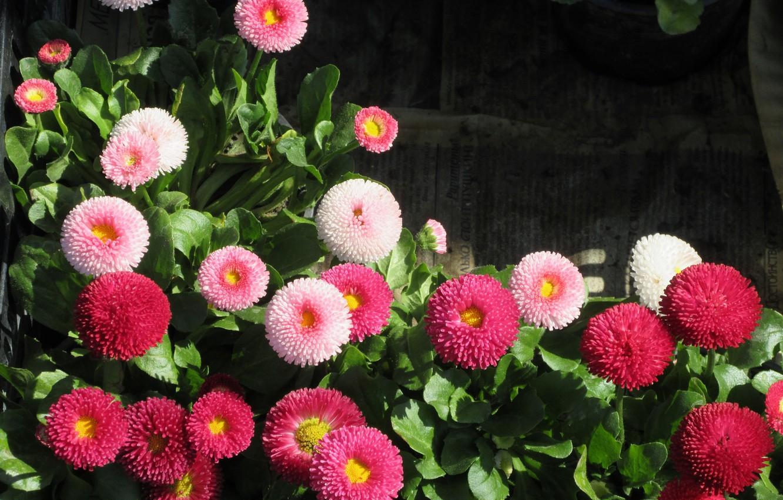 маргаритка весна красна фото обучения