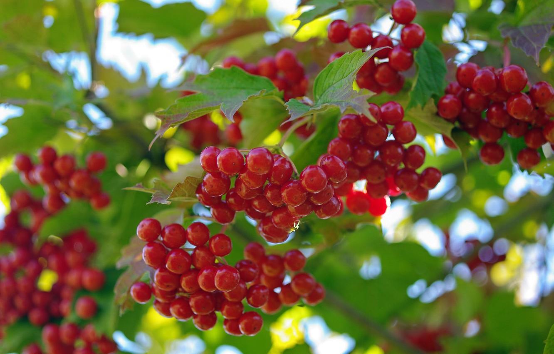 Фото обои лето, природа, ягоды, красота, урожай, плоды, витамины, множество, дача, калина, красный цвет