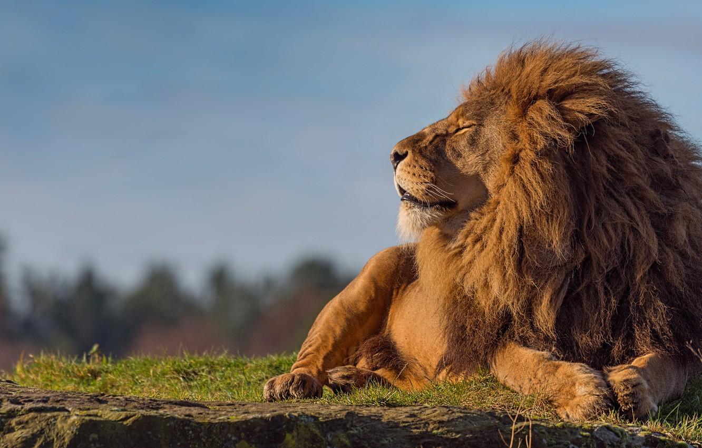 Фото высокого качества львы на фон телефона нас