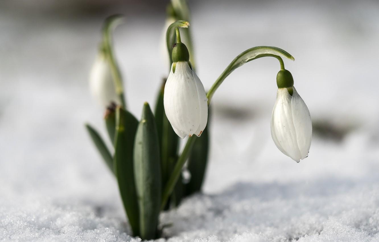 Подснежники на снегу картинка