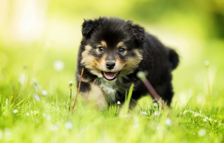 Фото обои трава, взгляд, собака, малыш, щенок, боке, Финский лаппхунд