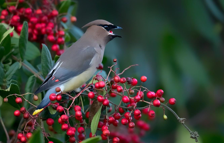 Фото обои птицы, ягоды, ветка, кедровый свиристель