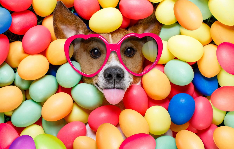 Фото обои собака, colorful, очки, Пасха, сердечки, happy, dog, Easter, eggs, holiday, funny, яйца крашеные