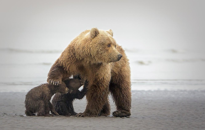 Фото обои медведи, медвежата, мишки, медведица