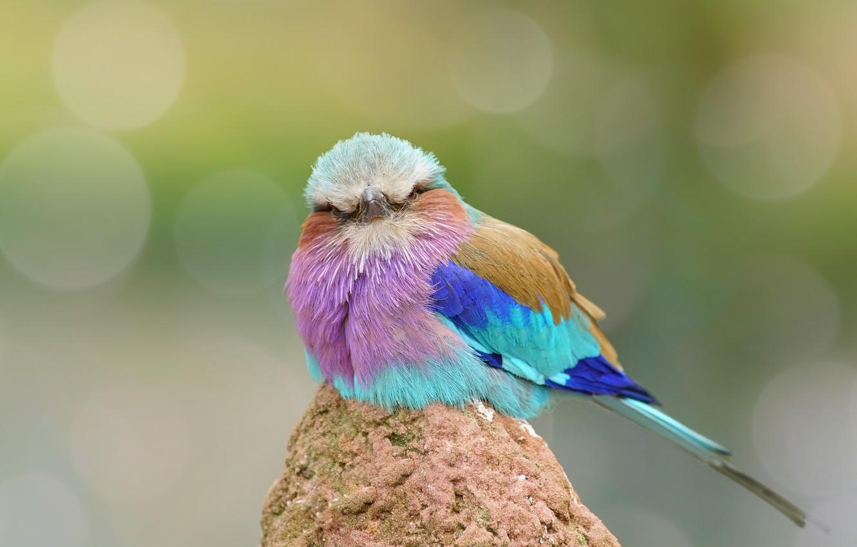 Фото обои птица, перья, окрас, забавная, Сизоворонка