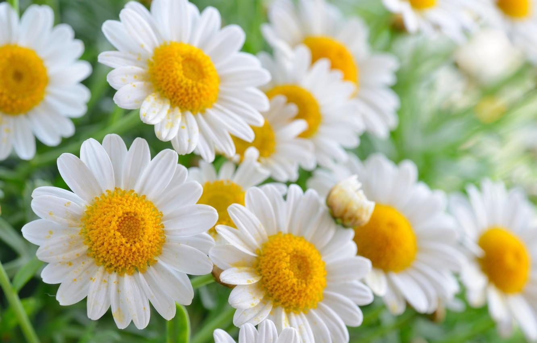 Фото обои лето, цветы, ромашки, цветение