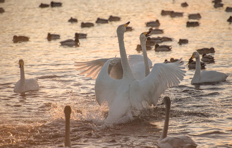 Фото обои вода, брызги, птицы, природа, озеро, лебеди
