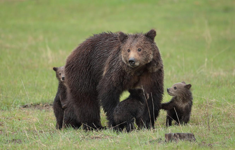 Фото обои животное, медведи, большой, шкура, медвежата, медведица
