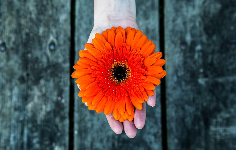 Фото обои цветок, фон, доски, рука, лепестки, гербера, красный цветок, женские руки, цветок в руке