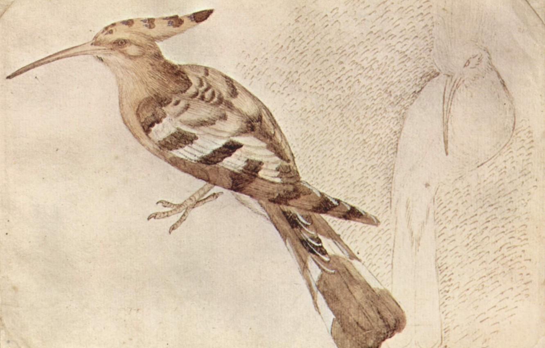 Фото обои птица, Удод, Pajaro, Antonio Pisanello