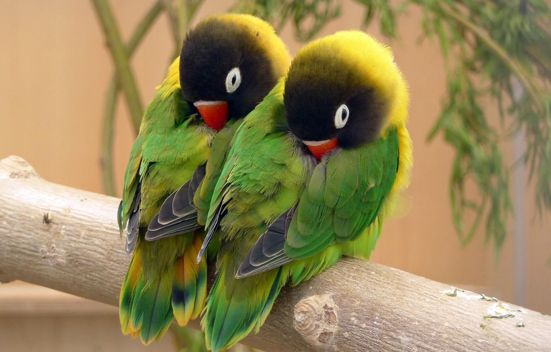Фото обои птица, перья, попугай, окрас, неразлучники, клювик