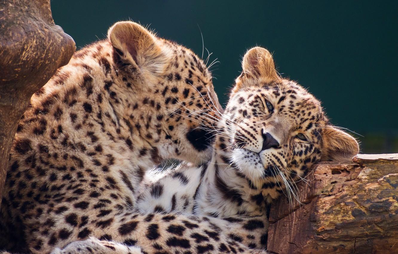 Обои детеныш леопарда, Милая мордашка. Животные foto 19