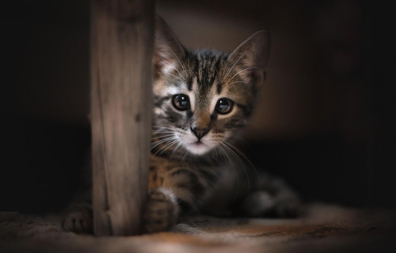 Фото обои взгляд, мордочка, котёнок, котейка