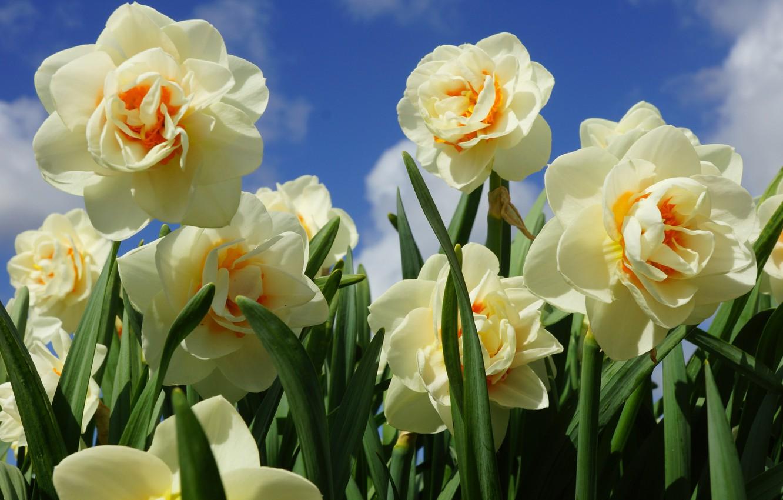 Фото обои весна, лепестки, нарциссы