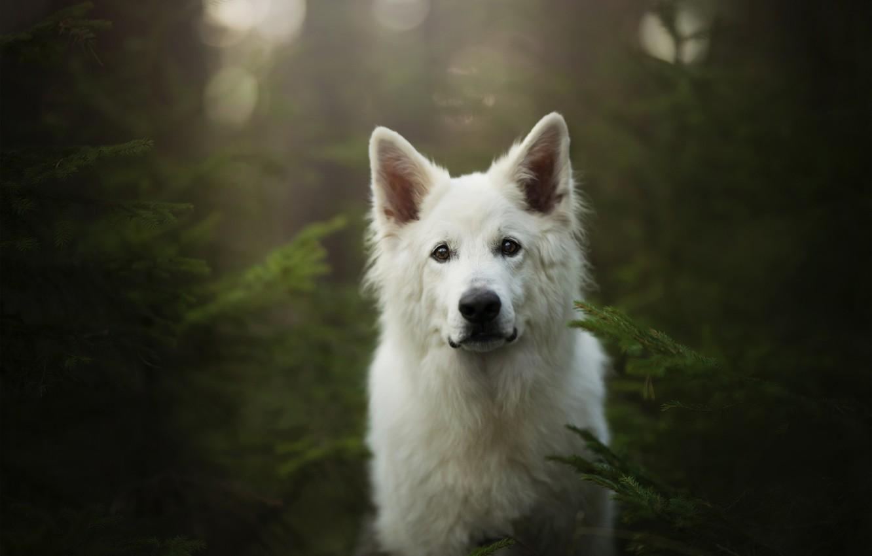 Фото обои лес, взгляд, морда, собака, Белая швейцарская овчарка