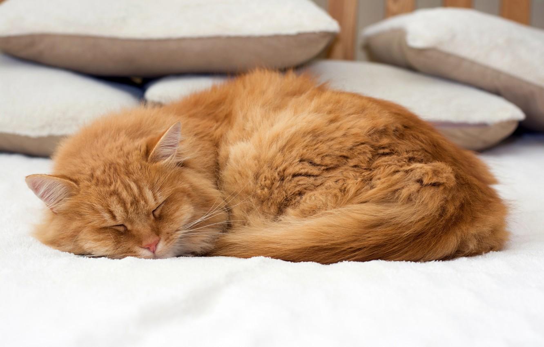 Фото обои кошка, кот, подушки, рыжий, спит, постель, лежит, боке