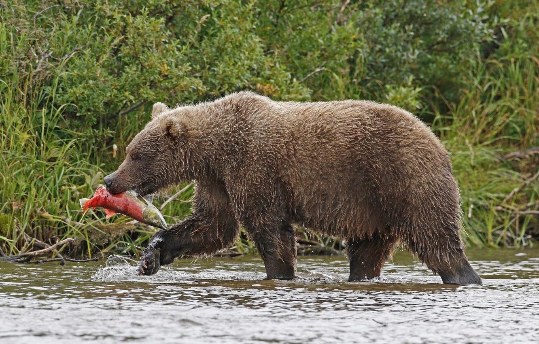 картинки иллюстрации бурый медведь добывает пищу