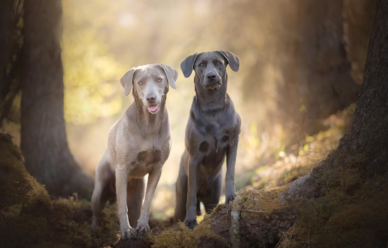 Фото обои боке, две собаки, Silver Labradors
