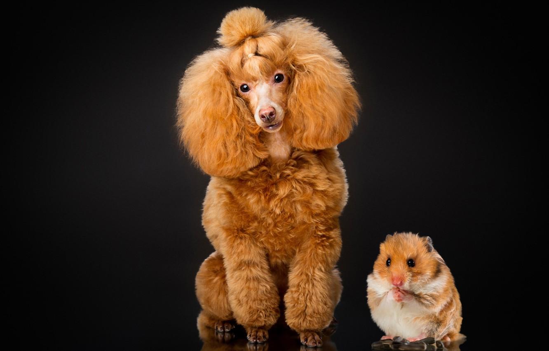 Фото обои портрет, собака, хомяк, чёрный фон, грызун, Пудель
